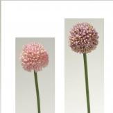 Allium in zwei Farben 53cm 1Stk