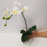 Phalaeonopsis weiß 4 Blüten l=69cm