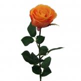Gartenrose Langstiel apricot 69cm 6Stk